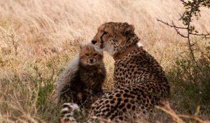 Samara-Cheetahs