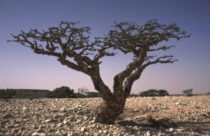 Frankincense Tree - Copy